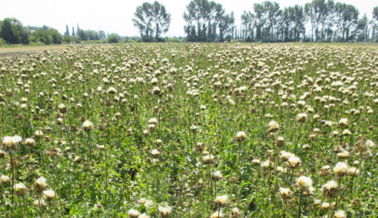 Olomoučtí vědci vyšlechtili nové odrůdy ostropestřce, pomohou při nemoci jater