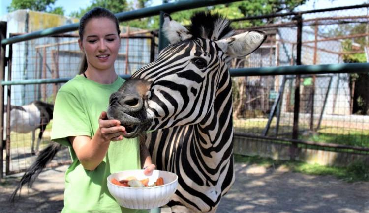 FOTO/VIDEO: V olomoucké zoo mají nového zebřího samce. Kayes přijel z Plzně