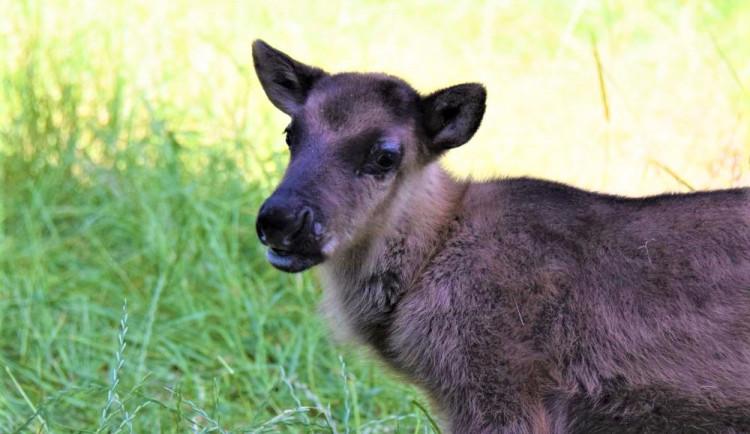 FOTO/VIDEO: V olomoucké zoo se narodili malí sobi. Podívejte se
