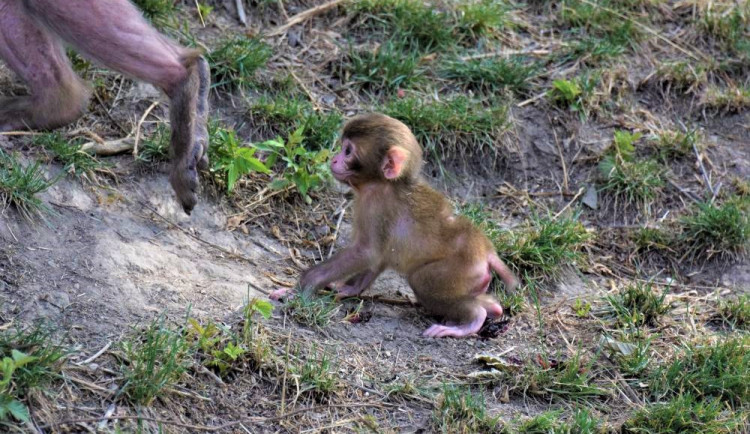FOTO/VIDEO: V olomoucké zoo se narodila tři mláďata makaka červenolícého