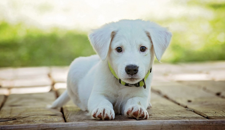 Strážníci kontrolovali stav poplatků za psy. Dvěma ženám hrozí pokuta až sto tisíc korun