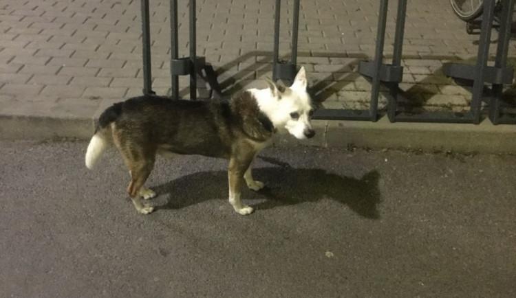 Pes byl několik hodin uvázaný u supermarketu v Olomouci. Strážníci ho převezli do útulku