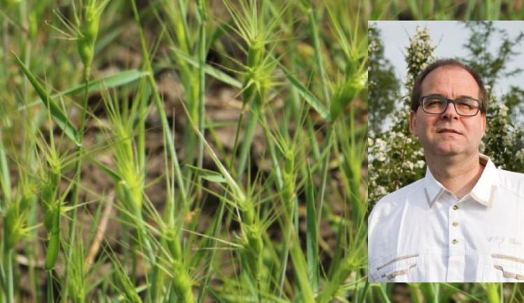 Pšenice, k jejímuž pěstování bude potřeba méně chemikálií.Olomoucký výzkum může být průlomový
