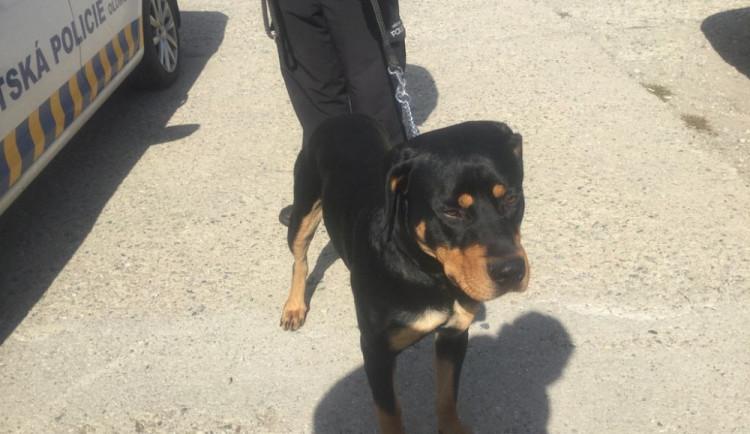 Olomoučtí strážníci letos zaznamenali přes čtyři sta telefonátů o volně pobíhajících psech