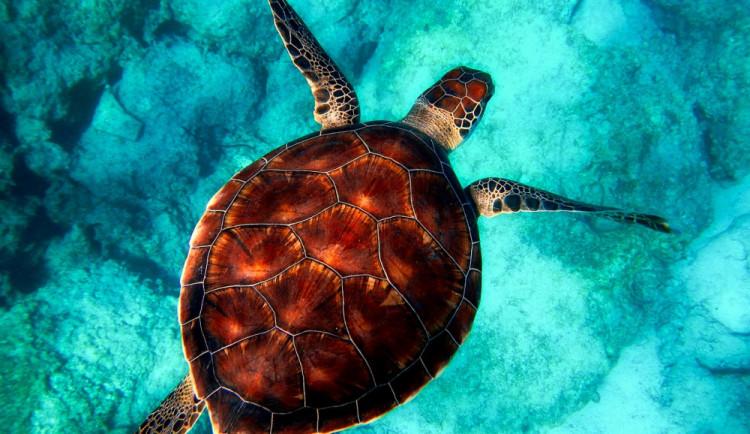 Olomoucká zoo pomáhá se záchranou mořských želv