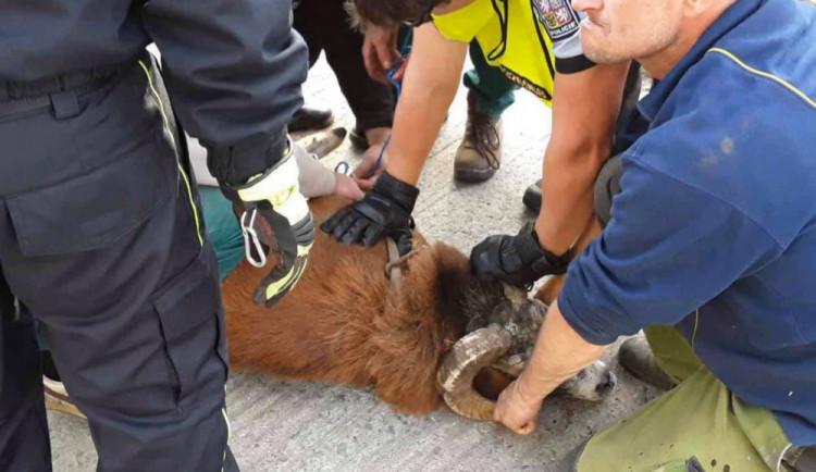 FOTO: Policisté i hasiči honili berana, který na Olomoucku zastavil vlakovou dopravu a zranil svého majitele